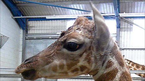 New baby giraffe at Paignton Zoo