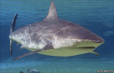 Bull shark (Image iStockPhoto)