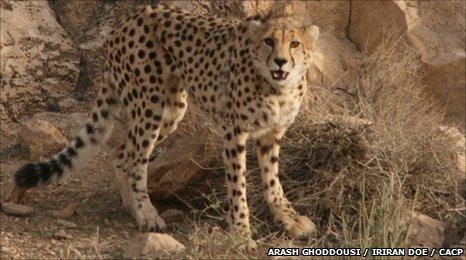 An Iranian cheetah (c) Arash Ghoddousi / IRIran DOE / CACP