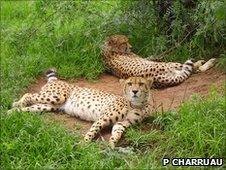 Southern African cheetahs (c) Pauline Charruau 
