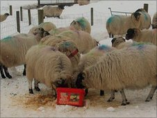 Sheep in snow, Wooler