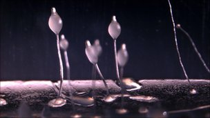 Fruiting bodies of D. discoideum amoeba (O Gilbert)