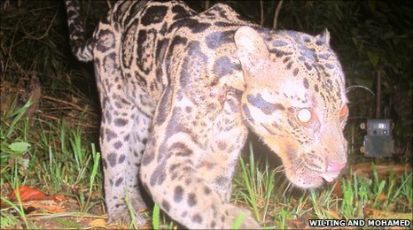 Sundaland clouded leopard filmed in the wild (picture courtesy of A Wilting, A Mohamed and Sabah Wildlife Department)