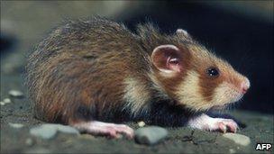 bbc news france warned by eu court over rare hamsters. Black Bedroom Furniture Sets. Home Design Ideas