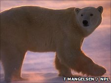 A polar bear (c) Tom Mangelsen / naturepl.com