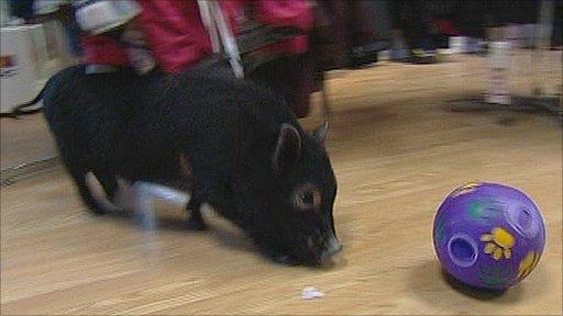 Patrick the micro-pig