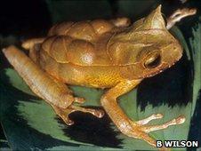 Gastrotheca cornuta (c) Dr Brad Wilson / Amphibian Ark