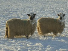 Snow covered sheep, North Yorkshire.