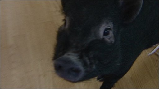 Micro pig shop assistant