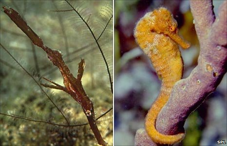 Ghost pipefish and long-snouted seahorse (Image: Science Photo Library) 