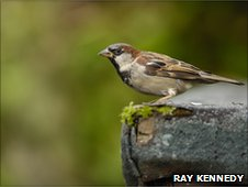 House sparrow on wall