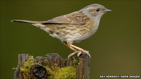 A Dunnock by Ray Kennedy