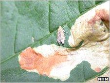 Horse chestnut leaf miner moth