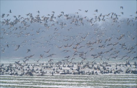 Red-breasted goose flock