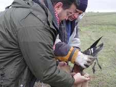 Scientists capturing a red-breasted goose