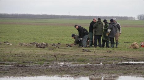 Geese caught under a cannon net in Bulgaria