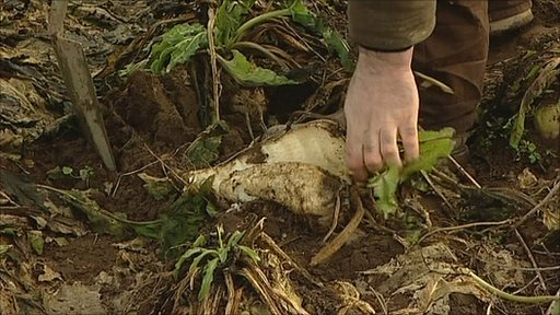 Farmer Robert Bealby pulls a sugar beet out of the ground