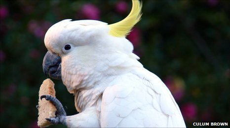 Sulphur-crested cockatoo holding food in left hand.