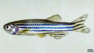 Zebrafish (Image: Science Photo Library)