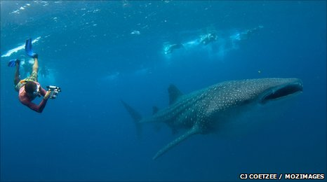 Diver photographs whale shark (c) CJ Coetzee / MozImages