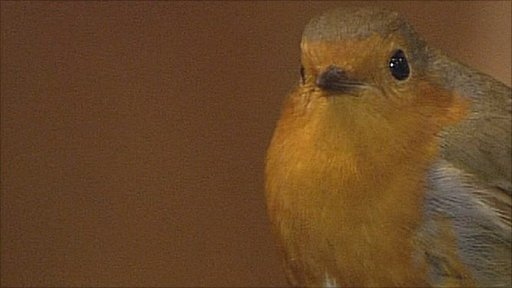Robin in St Mary's Church, Portchester Castle