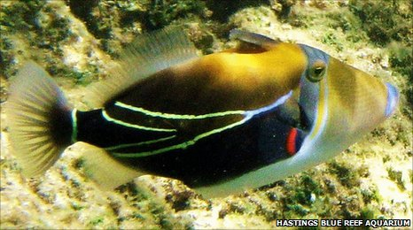 Bbc exotic fish with odd name causes problems at aquarium for Hawaii state fish humuhumunukunukuapua a pronunciation