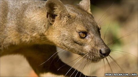 bbc earth news the weird predatory fossa of madagascar is