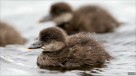 Common scoter duckling. Pic: RSPB
