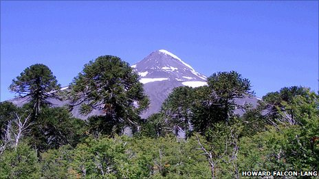Monkey puzzles in the Chilean Andes (H. Falcon-Lang)