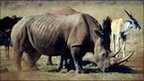 A rhinocero grazing in the private Rhino and Lion Nature Reserve in Krugersdorp, north of Johannesburg, file photo, 2010