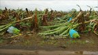 Flattened banana crop at Innisfail. 3 Feb 2011