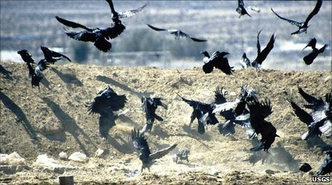 Raven flock