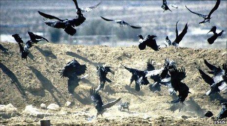 Raven Flock Birds Raven Flock