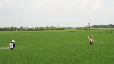 Workers use specially designed cans to spray crops with fungicide.
