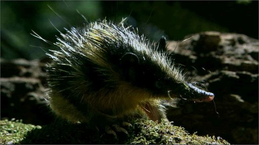 A striped tenrec in the undergrowth (c) BBC