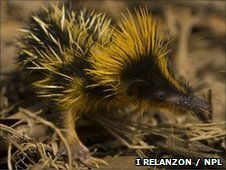 A lowland streaked tenrec (c) Inaki Relanzon / Naturepl.com