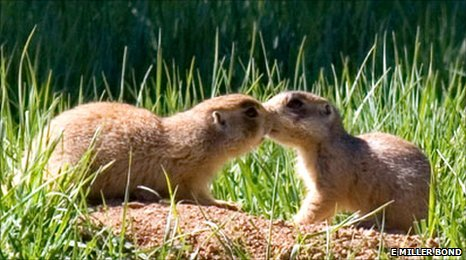 Prairie dogs kissing (Image: Elaine Miller Bond)