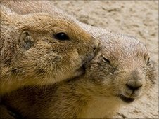 Bbc earth news prairie dogs kiss and cuddle for an audience prairie dogs grooming image elaine miller bond m4hsunfo