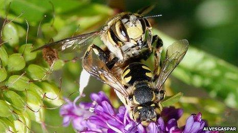 Mating bees (Image: Alvesgaspar)