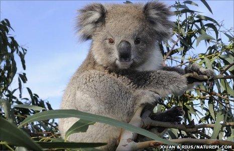 Koala (Image: Jouan & Rius/ naturepl.com)
