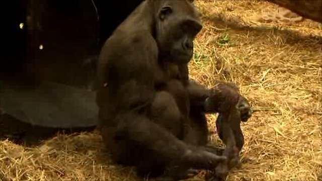 Tiny the gorilla taking his first steps