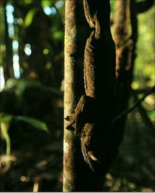 Giant leaf-tailed gecko