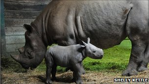 New black rhino calf with mother Ruaha