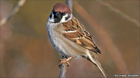 Tree sparrow on a branch by Richard Rodgers