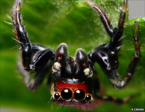 East African jumping spider Evarcha culicivora (Image: Fiona Cross)