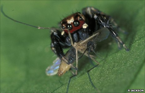 East African jumping spider Evarcha culicivora eating a mosquito (Image: Robert Jackson)
