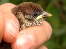 Tree sparrow chick being ringed at Attenborough Nature Reserve, Nottinghamshire