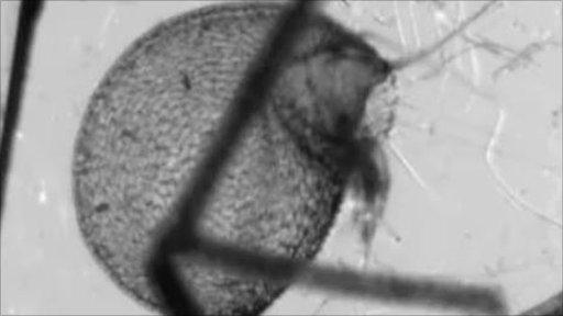 Carnivorous underwater plant sucking in prey (Image: Philippe Marmottant)