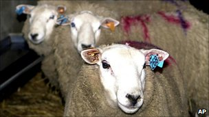 Sheep marked for slaughter