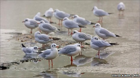 Flock of Black-headed Gulls (Larus ridibundus) resting